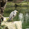 Grey Heron in St. Stephen's Green